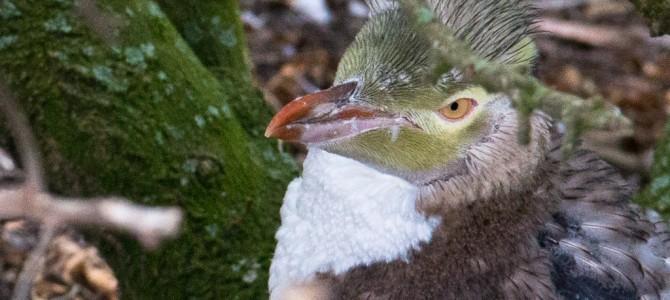Yellow pingouin - Moeraki